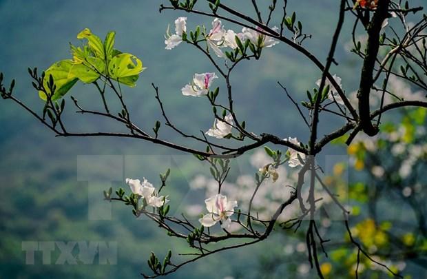 越南西北地区羊蹄甲花绽放迎春 hinh anh 2