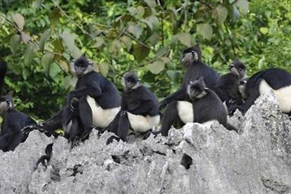 河南省努力保护白臀叶猴群 hinh anh 1