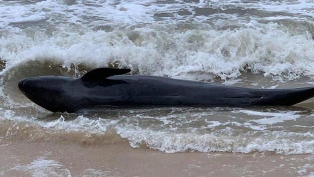 富安省:重达300公斤的鲸鱼冲上绥和海岸 hinh anh 1