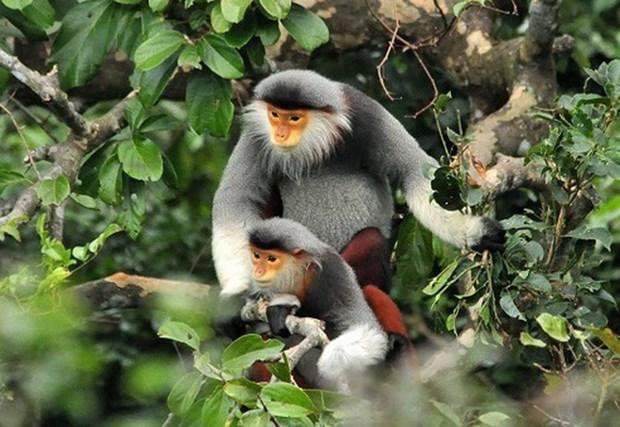 将一只白臀叶猴放归大自然 hinh anh 1