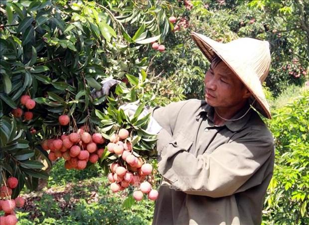 越南为直接监督出口到日本的荔枝装备好必要条件 hinh anh 1