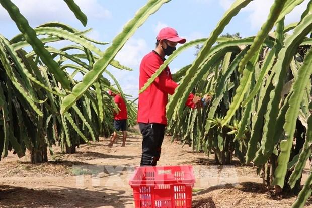 前江省米市县打造服务出口的火龙果主产区 hinh anh 1
