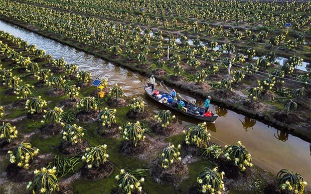 前江省米市县打造服务出口的火龙果主产区 hinh anh 2
