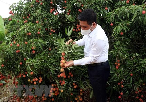 海阳省向新加坡和日本出口2021年的首批荔枝 hinh anh 2