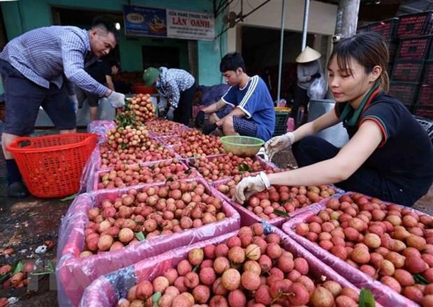 通过金城口岸向中国出口3400吨早熟荔枝 hinh anh 1