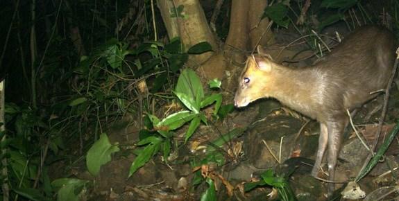 越南发现曾一度被认为灭绝的鹿科动物 hinh anh 1