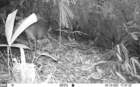 越南发现曾一度被认为灭绝的鹿科动物 hinh anh 2