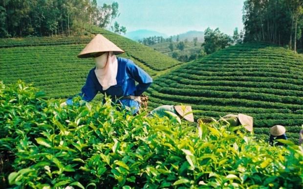 越南茶叶颇受澳大利亚消费者的欢迎 hinh anh 1