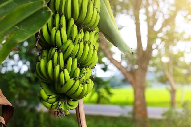 金瓯省多措并举提升香蕉产品价值 hinh anh 1