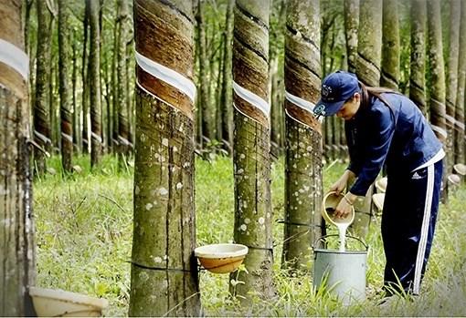 越南橡胶出口额大幅增长 hinh anh 1