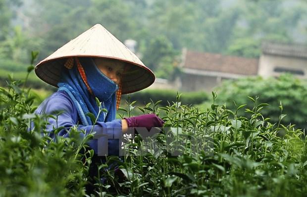 越南茶叶对中国台湾出口保持增长势头 hinh anh 1