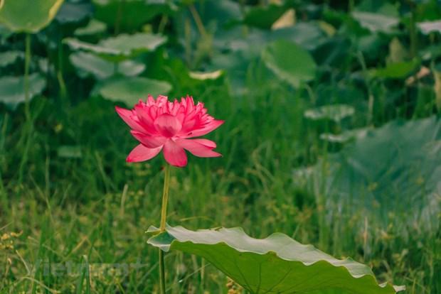 组图:西湖莲花茶——河内夏季特产 hinh anh 1
