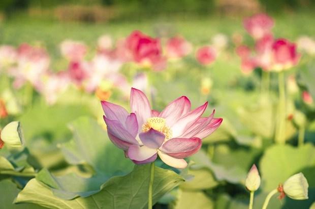 组图:宁平省在秋季盛开的荷花池令人惊叹 hinh anh 2
