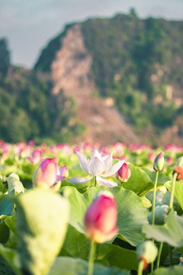组图:宁平省在秋季盛开的荷花池令人惊叹 hinh anh 3