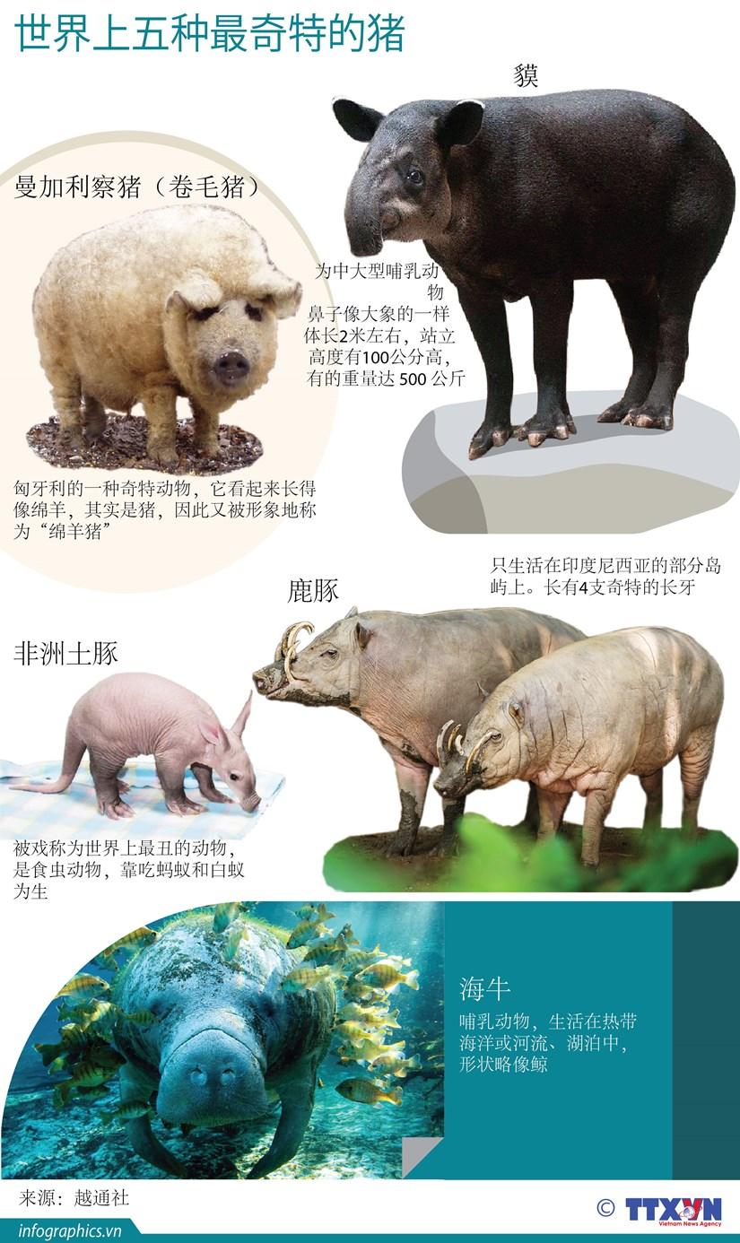 图表新闻:世界上五种最奇特的猪 hinh anh 1