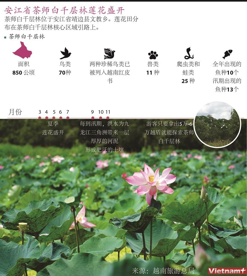 图表新闻:安江省茶师白千层林莲花盛开 hinh anh 1